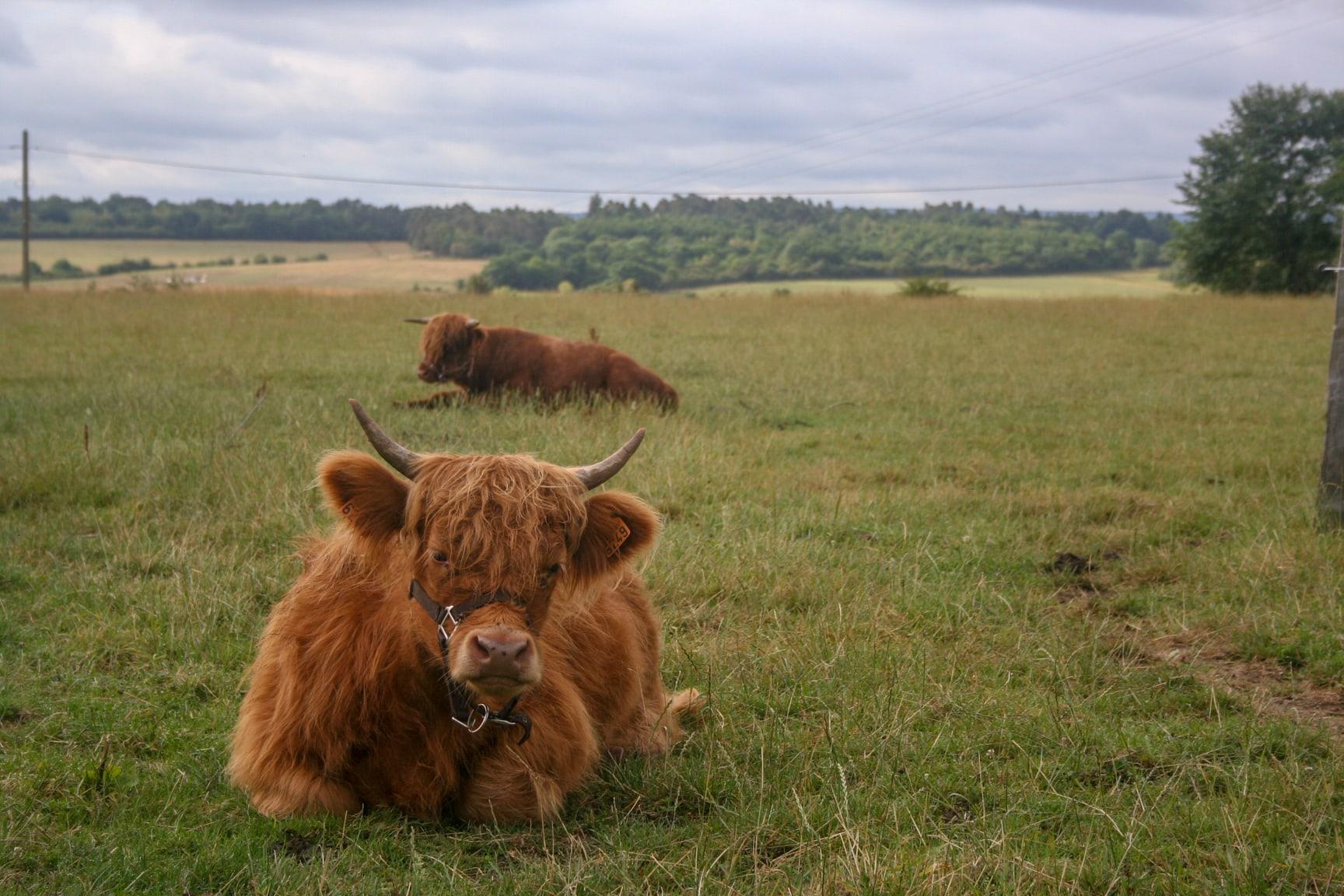 Transhumance de nos vaches en vidéo
